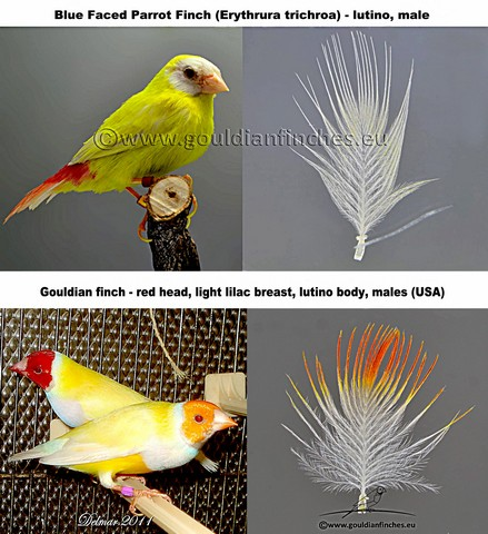 LUTINO AND ALBINISTIC GOULDIAN QUOTES